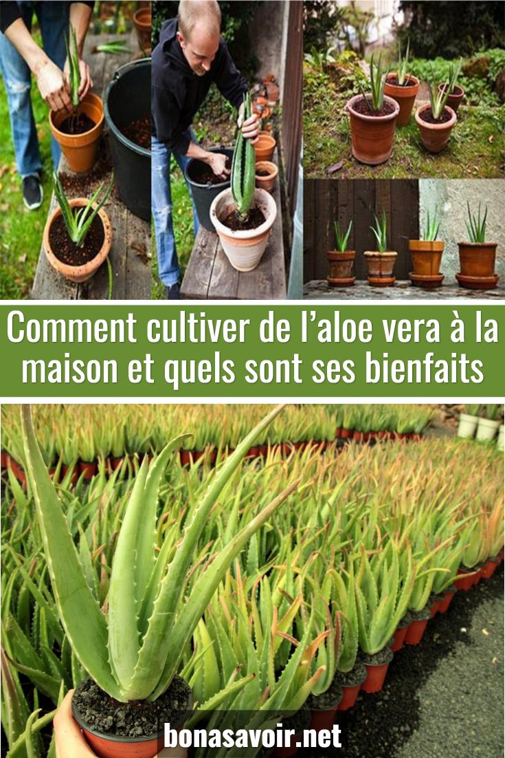 Comment Entretenir Une Plante Aloe Vera comment cultiver de l'aloe vera à la maison et quels sont