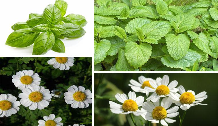 8 Plantes médicinales que vous pouvez cultiver à la maison