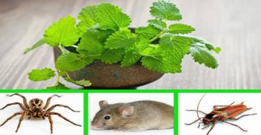 La menthe permet d'éloigner les souris, les araignées et les insectes de votre maison : voila comment l'utiliser