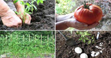 Voici LA BONNE FAÇON de Planter des Tomates (Et Avoir des Plants de 2 Mètres de Haut)