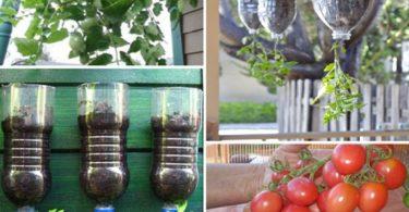 Apprenez à planter des tomates avec des bouteilles facilement à la maison (étapes par étapes)