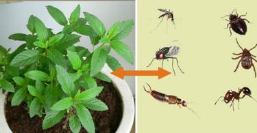 Cette plante est une bénédiction de dieu, elle chasse les souris, les araignées et autres insectes de votre maison