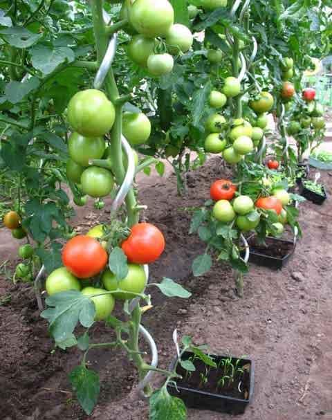 12 astuces à savoir pour que vos tomates poussent parfaitement