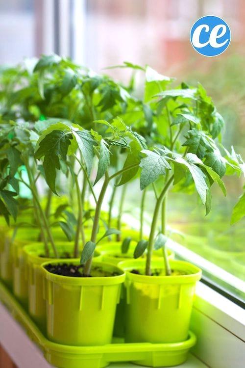 23 Astuces Pour Faire Pousser des tomates en pot