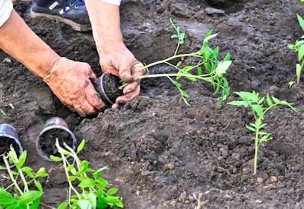 Les tomates comment faire pousser entre 15 et 30 kilos par pied, 10 Étapes Simples