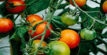 Tomates : 7 engrais naturels à enfouir dans le sol pour réussir ses plants