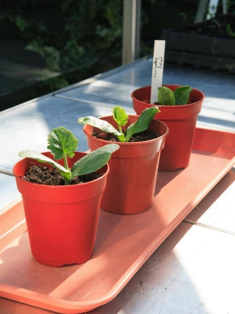 Comment faire pousser des courgettes sans jardin