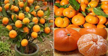 N'achetez plus jamais de mandarines : apprenez à les planter pour en avoir en illimité à la maison