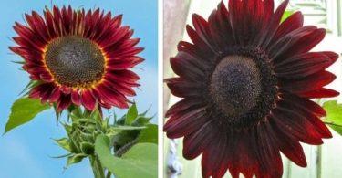 Pour changer des fleurs traditionnelles, voici le tournesol chocolat, aux pétales marrons et bordeaux
