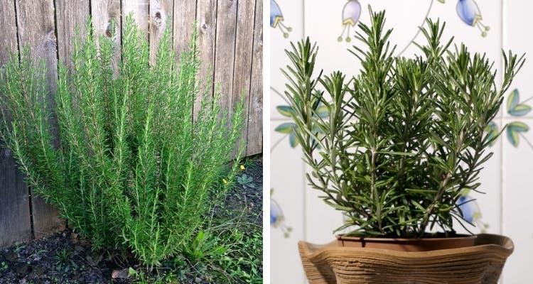 10 plantes anti-moustiques faciles à cultiver