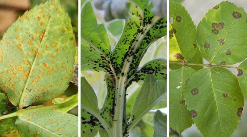 Parasites et pucerons 10 remèdes naturels pour les éloigner naturellement