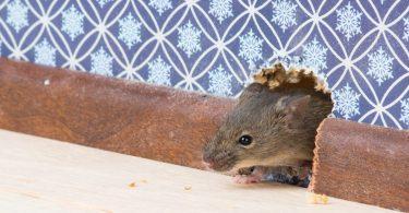 Comment se débarrasser des rats de la maison de façon définitive ?